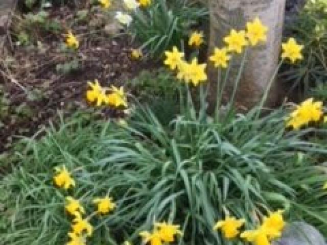 Raindrops on daffodils